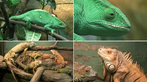 Zoo_chameleon_1