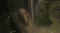 Zoo_tsuchibuta